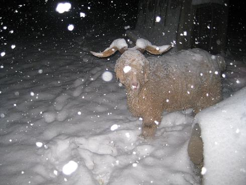 look at the snow on Fluff's horns